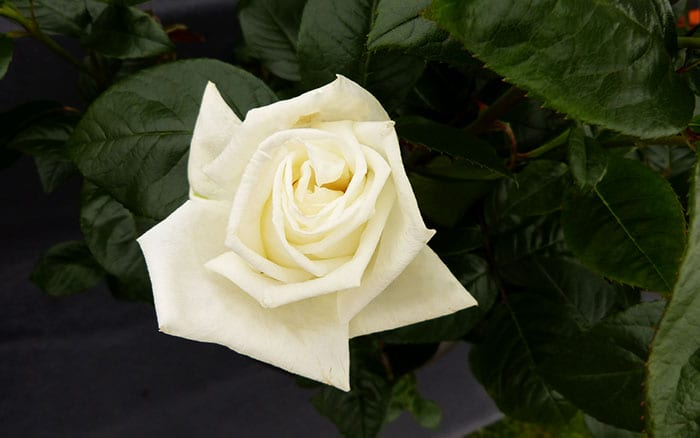 The 14 best pure and beautiful white rose varieties rose white parfum de provence scented white roses mightylinksfo