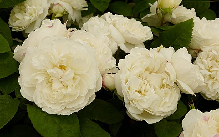 The 14 best pure and beautiful white rose varieties rose winchester cathedral best white roses mightylinksfo