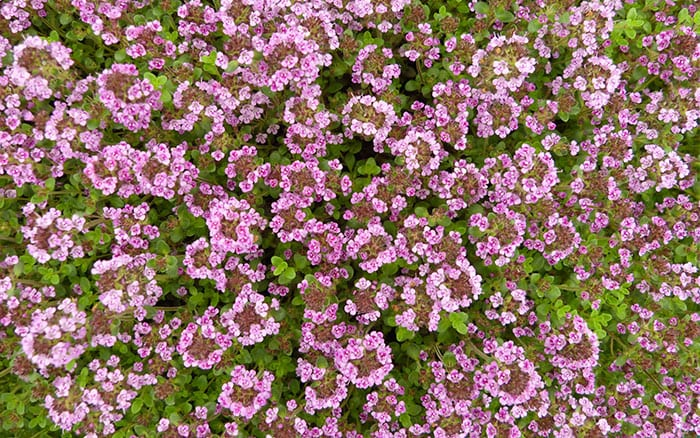 thyme-caborn-wine-and-roses pink flowering plants