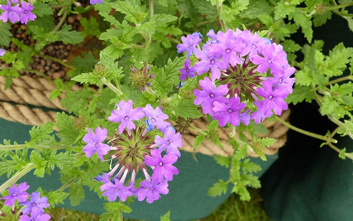 verbena-homestead-purple