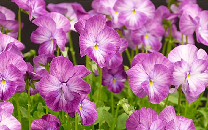 viola-perennis-rosy-rayne