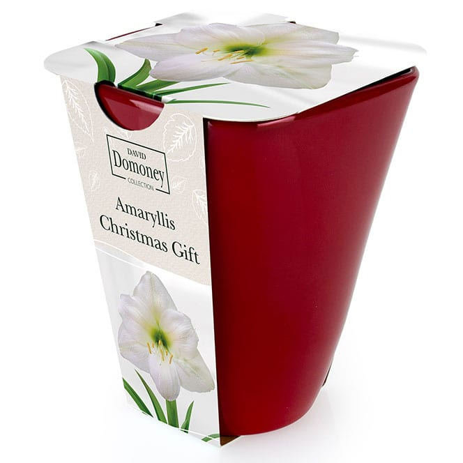 Amaryllis Christmas Gift with Ceramic Pot - Buy Amaryllis ...