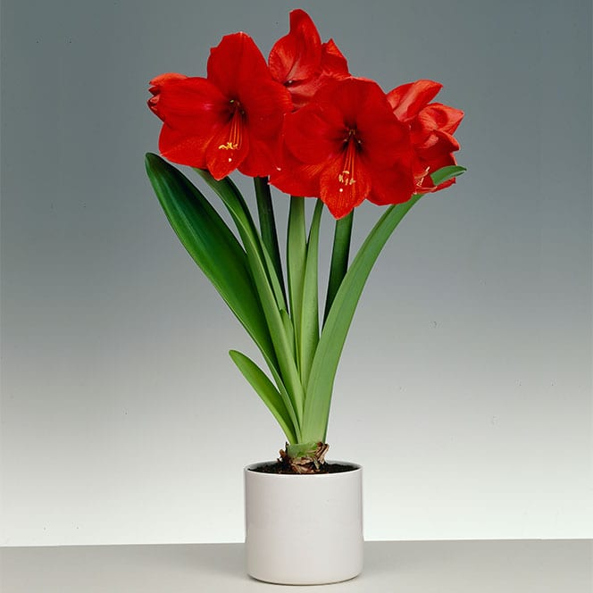 Amaryllis red lion with ceramic pot buy amaryllis bulbs for Pot amaryllis