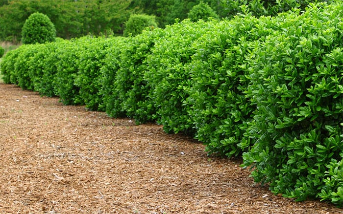 box-topiary-buxus-parterre-hedge-low-growing-shrub