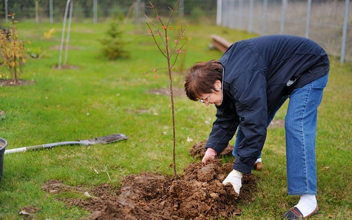 woman-planting-a-tree-shrub-bare-root-plant-in-garden