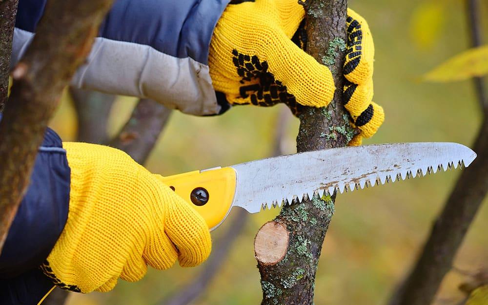 pruning larger branch