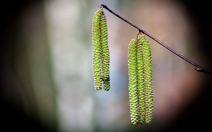 catkins-birch-tree-silver-food-for-birds-natural-resources