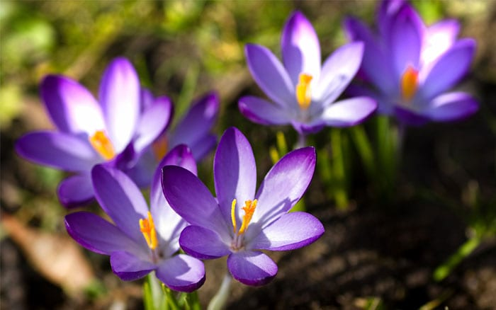 crocus-flowers-spring-bulb-in-lawn-naturalised-in-grass
