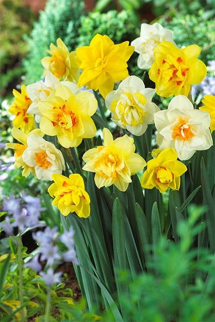 Bulb Box Daffodil Double Mixed Buy Daffodil Bulbs Online