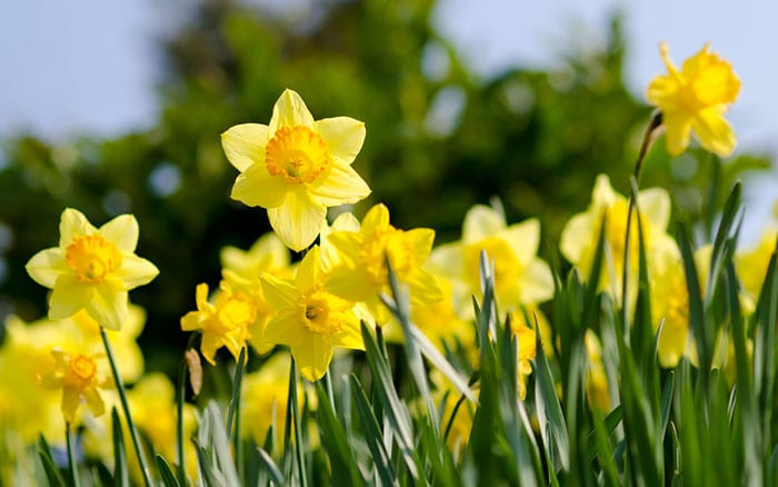 daffodils-in-spring-bulbs-lawn-naturalising-how-to-yellow-flowers