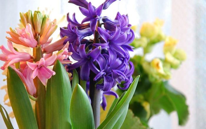 How to force spring bulbs in time for christmas flowering - Planting hyacinths indoors ...