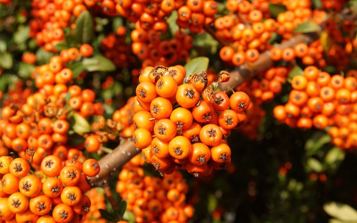 pyracantha-firethorn-orange-berries-food-plants-for-birds