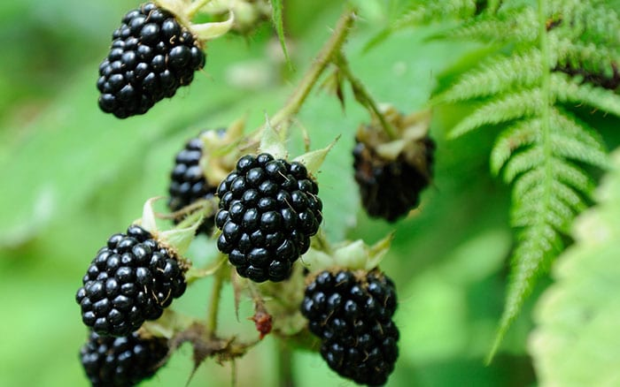 blackberries-how-to-plant-soft-fruit-bushes-canes