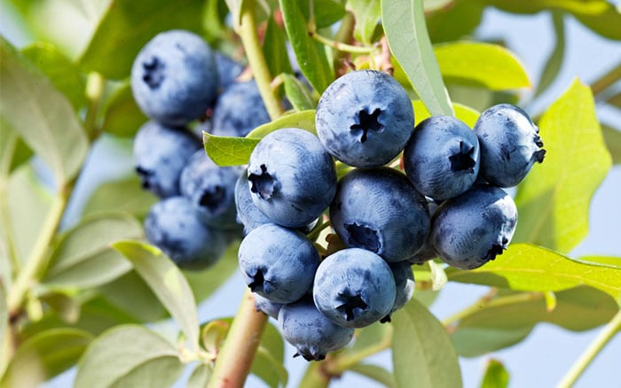 blueberry-bush-how-to-plant-soft-fruit-in-containers-acid-soil