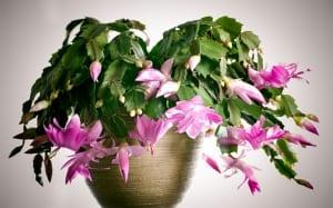 christmas-cactus-schlumberga-christmas-festive-houseplants