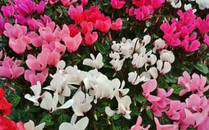 cyclamen-houseplants-indoor-cyclamen-christmas-plants-flowers