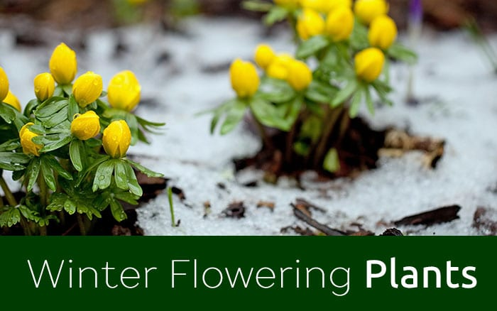 winter flowering plants