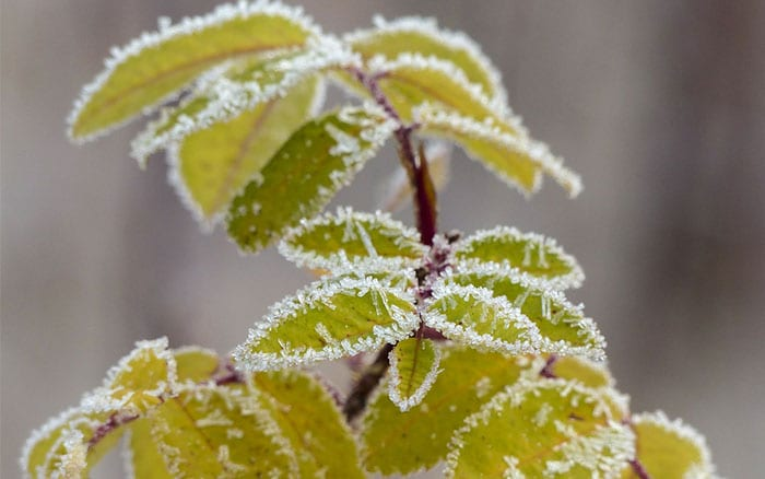 frosty-plant-how-to-protect-garden-plants-in-winter
