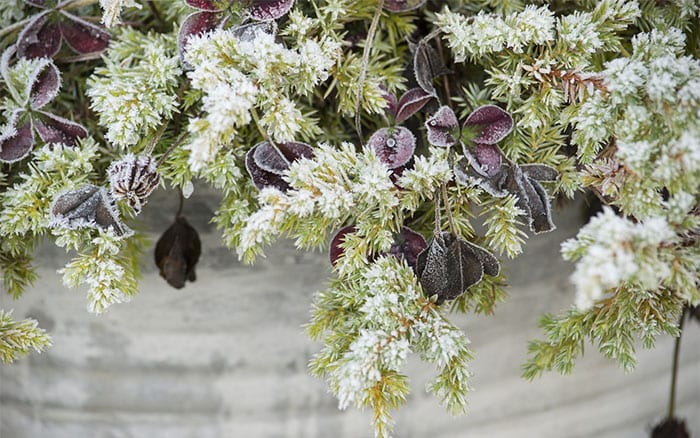 Frosty Plants In Containers Protect Winter