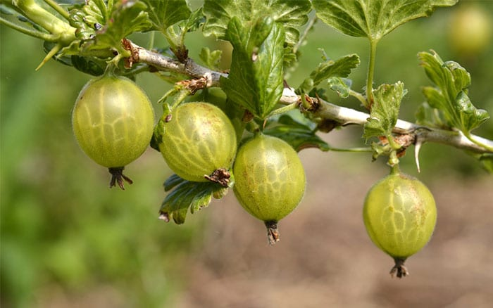 gooseberries-how-to-plant-soft-fruitcanes