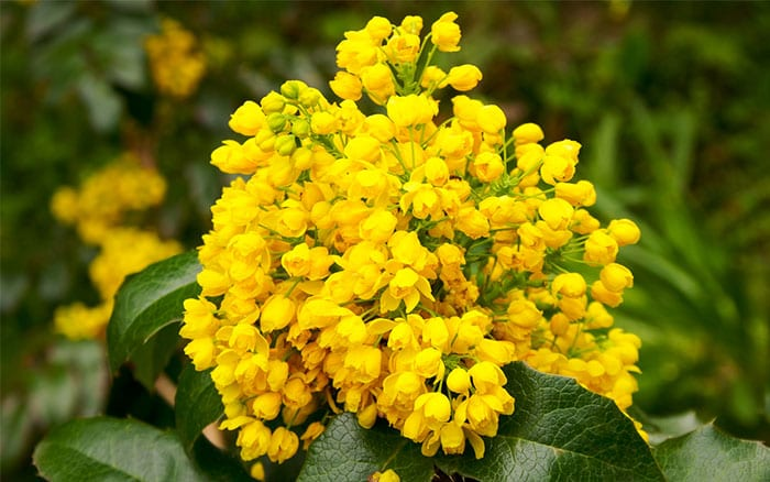mahonia-scented-yellow-winter-flowers