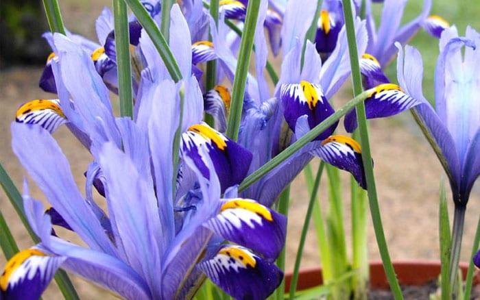 miniature-iris-reticulata