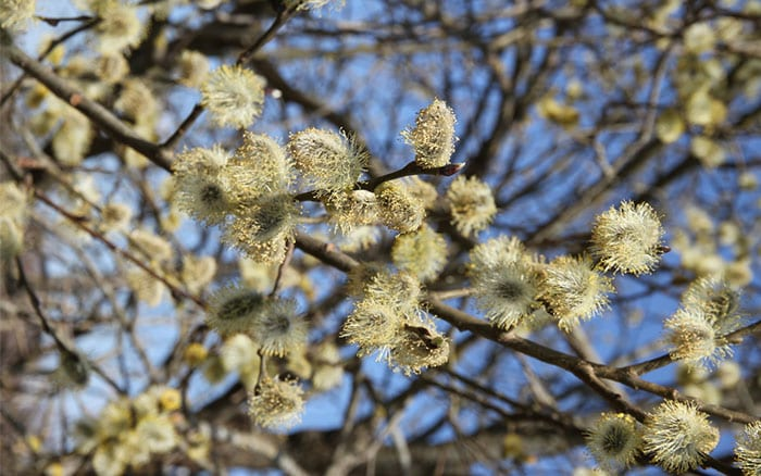 pussy-willow-salix-tree-catkins-yellow-spring-pollen