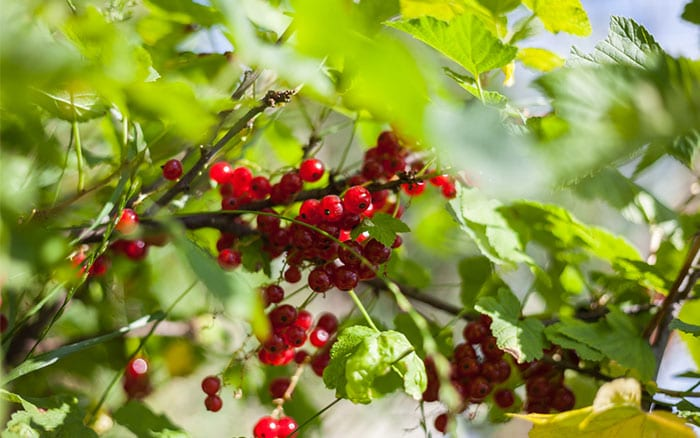 redcurrants-soft-fruit-bushes-how-to-plant
