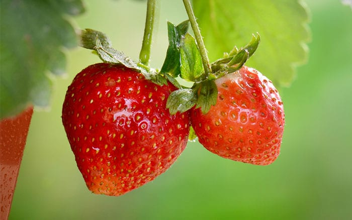 strawberries-how-to-plant-soft-fruit-bushes