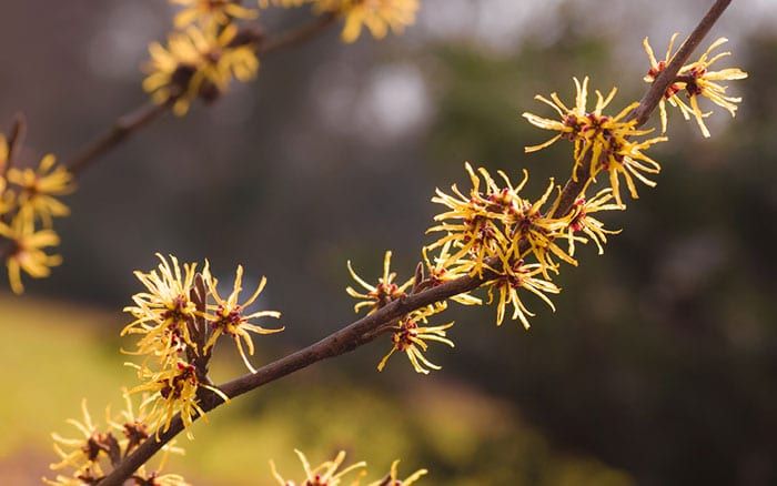 witch-hazel-flowers-branches-spring-yellow-flowering