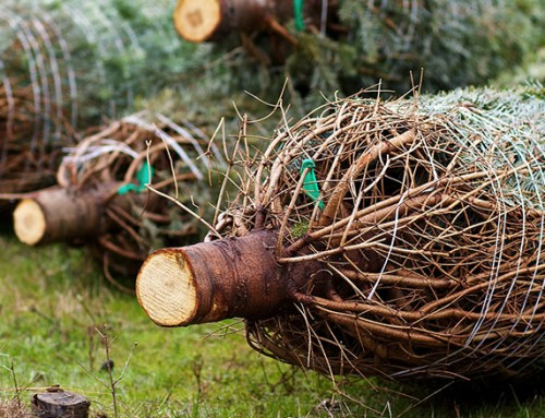 How to recycle your real Christmas tree in January