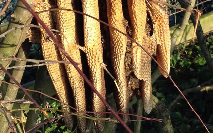 beekeeping-wild-colony-bees-in-hedge-honeybee