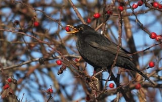 Blackbird eating berries. Blackbirds are common garden birds