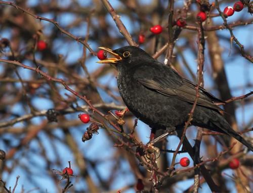 RSPB Big Garden Birdwatch: How to take part in 2016