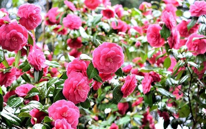 camellia-bushes-flower-february-pink-red-flowers