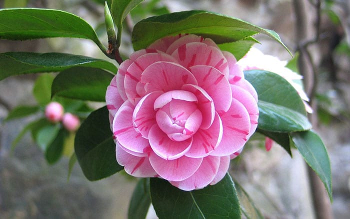 camellia-pink-flowers-stripes-february-flowers-how-to-grow-camellias