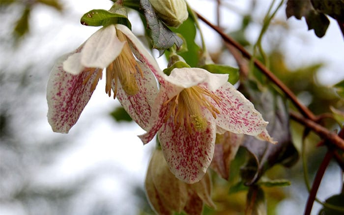 clematis-cirrhosa-freckles-winter-flowering