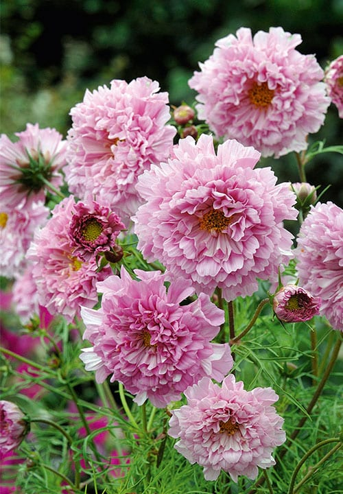 Cosmos Rose Bonbon by Suttons Seeds - New Plants for 2016