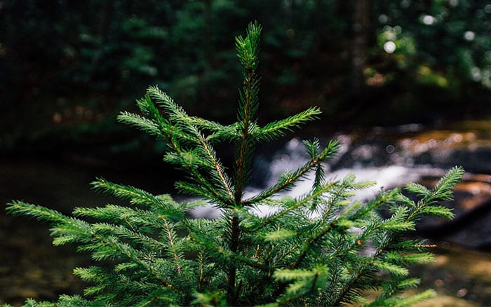 fir-tree-christmas-tree-how-to-plant-in-the-garden