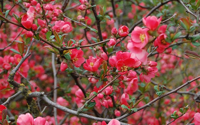 The 21 best plants and flowers for winter garden colour david domoney japanese quince shrub pink flowers winter mightylinksfo