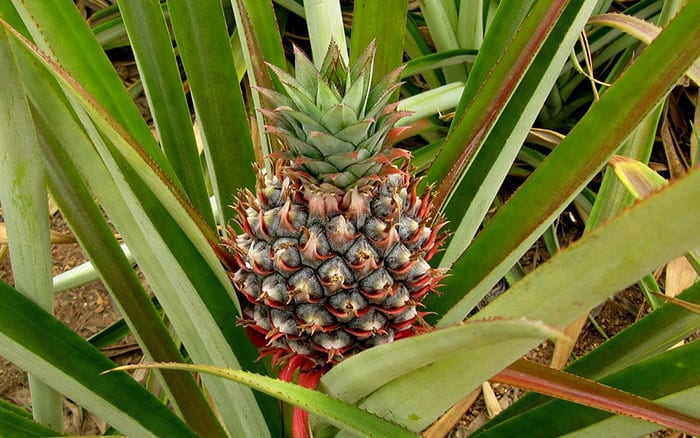 10 amazing mood lifting plant facts to beat the monday blues for Pineapple in the ground