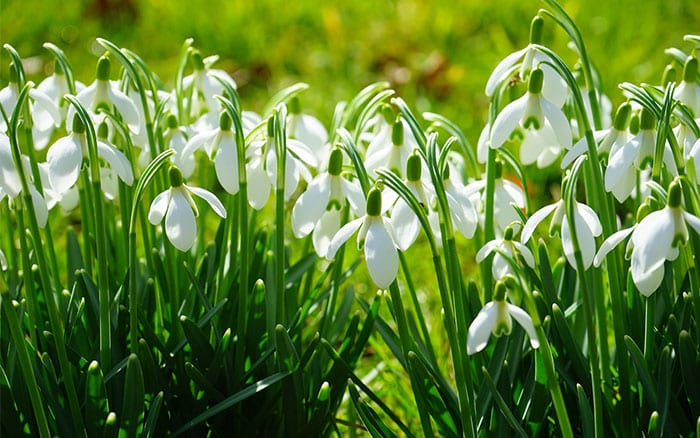 How to grow snowdrops and tips on dividing their clumps. Snowdrops are beautiful spring flowers!