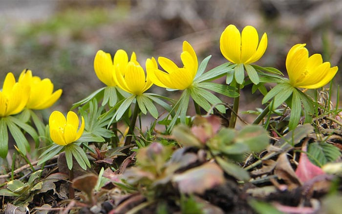 winter-aconite-yellow-flowers