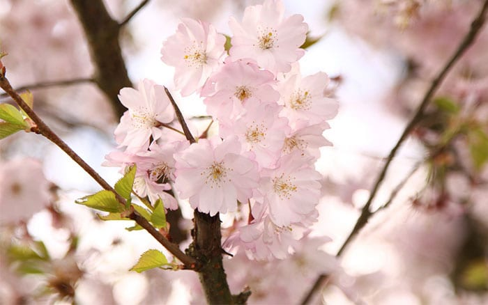 Winter-flowering cherry