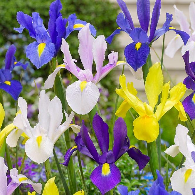 Iris Sensations Collection: David Domoney for John Lewis