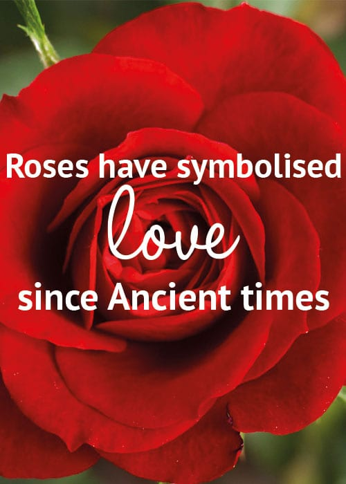 Valentine's Day Flower Facts: Roses have symbolised love since ancient times