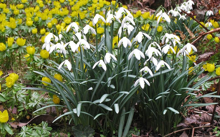 How to grow snowdrops and divide clumps of snowdrops