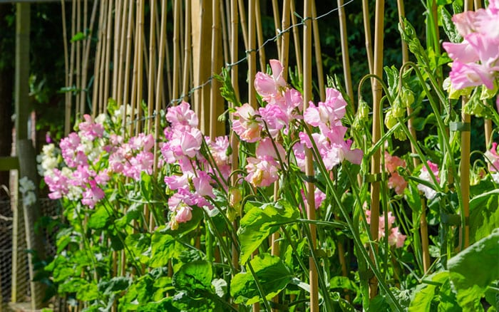 Sweet peas climbing on garden cane supports - how to grow sweet peas