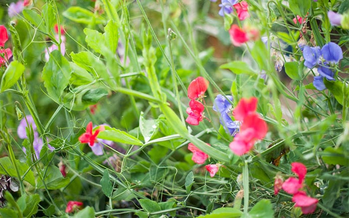 Sweet pea plants with red flowers: How to grow sweet peas