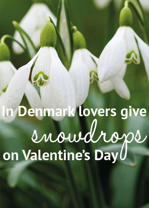 Valentine's Day flower facts: In Denmark lovers give each other snowdrops